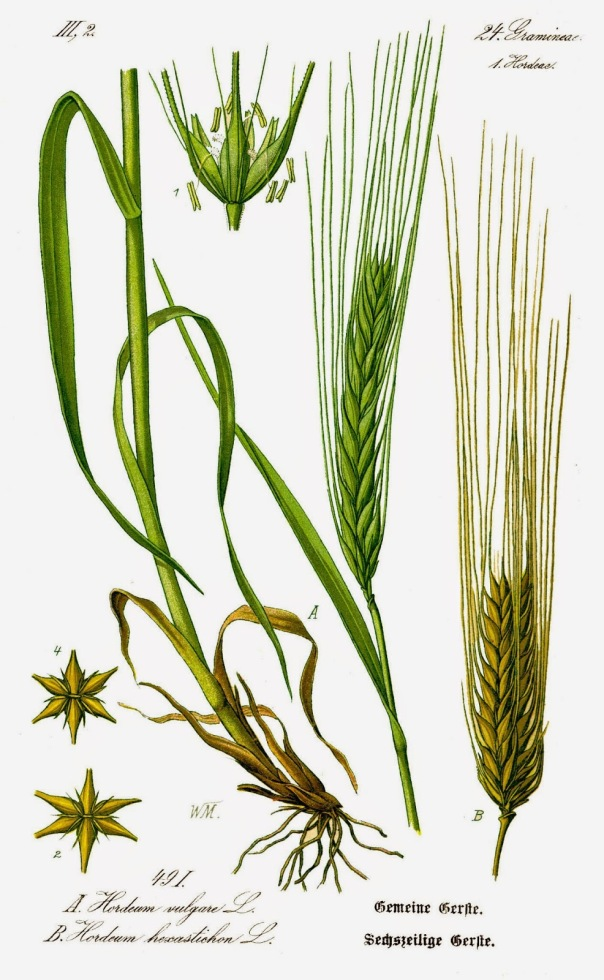Illustration_Hordeum_vulgare0B