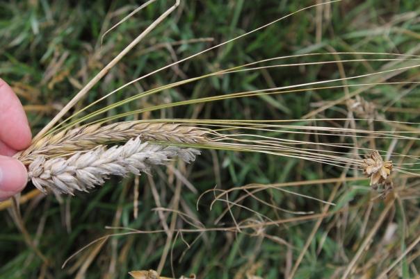 Gerst en tarwe